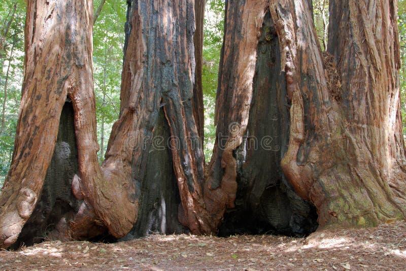 Árvores do Redwood imagem de stock royalty free