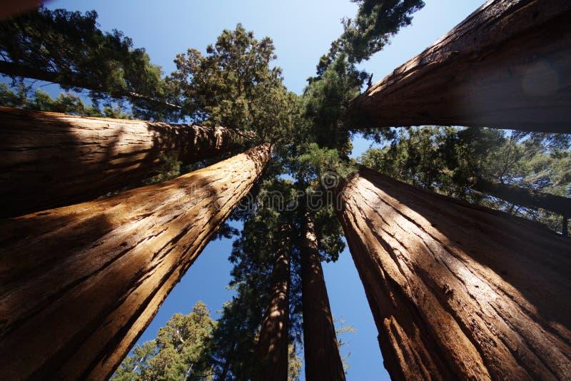 Árvores do Sequoia imagens de stock