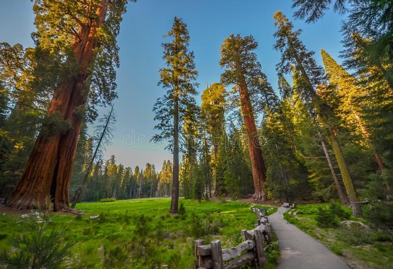 Árvores do Sequoia gigante fotografia de stock royalty free