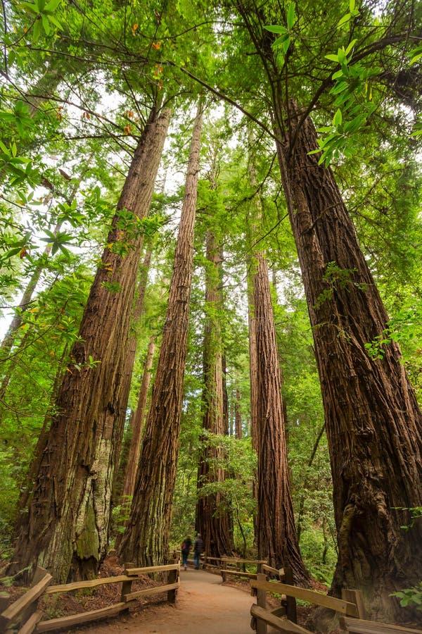 Árvores do Sequoia gigante imagens de stock royalty free