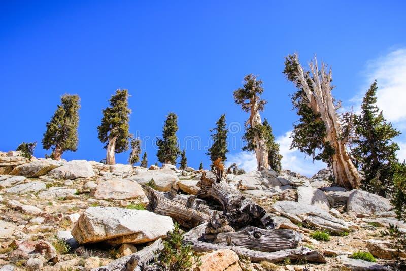 Árvores do zimbro que crescem na alta altitude foto de stock royalty free