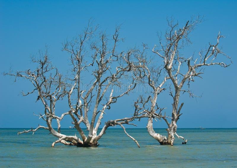 Árvores dos manguezais fotografia de stock