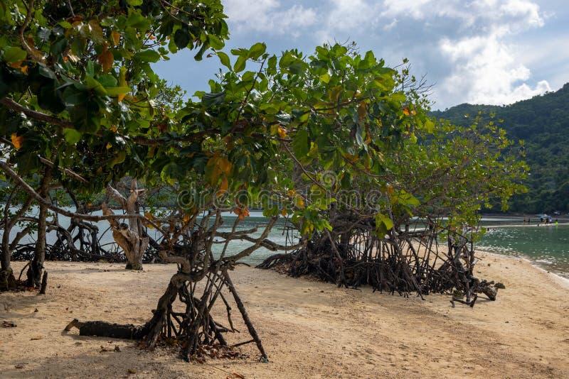 Árvores dos manguezais na praia amarela da areia ainda pelo mar Paisagem tropical da costa da ilha Raizes e folhas da árvore dos  fotografia de stock royalty free