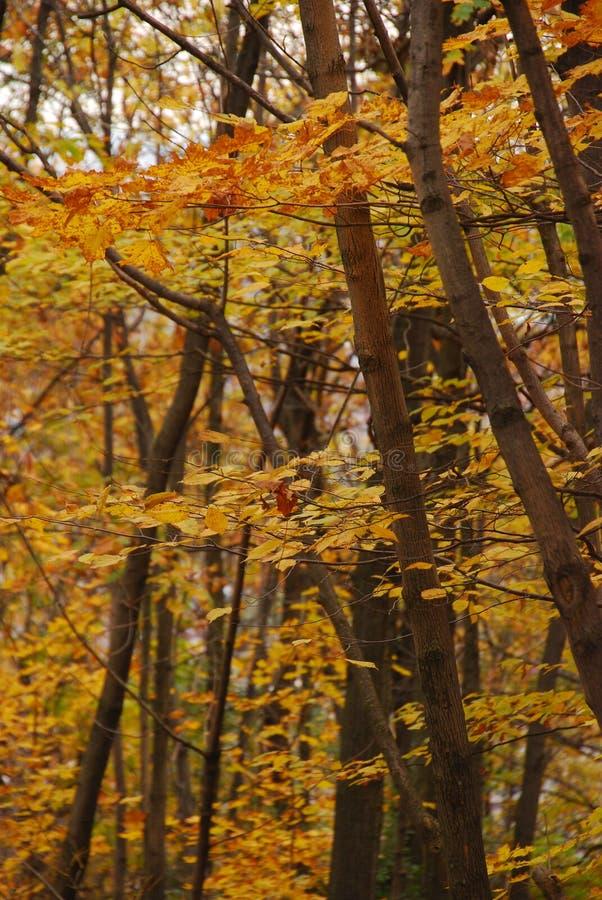Árvores durante a queda foto de stock