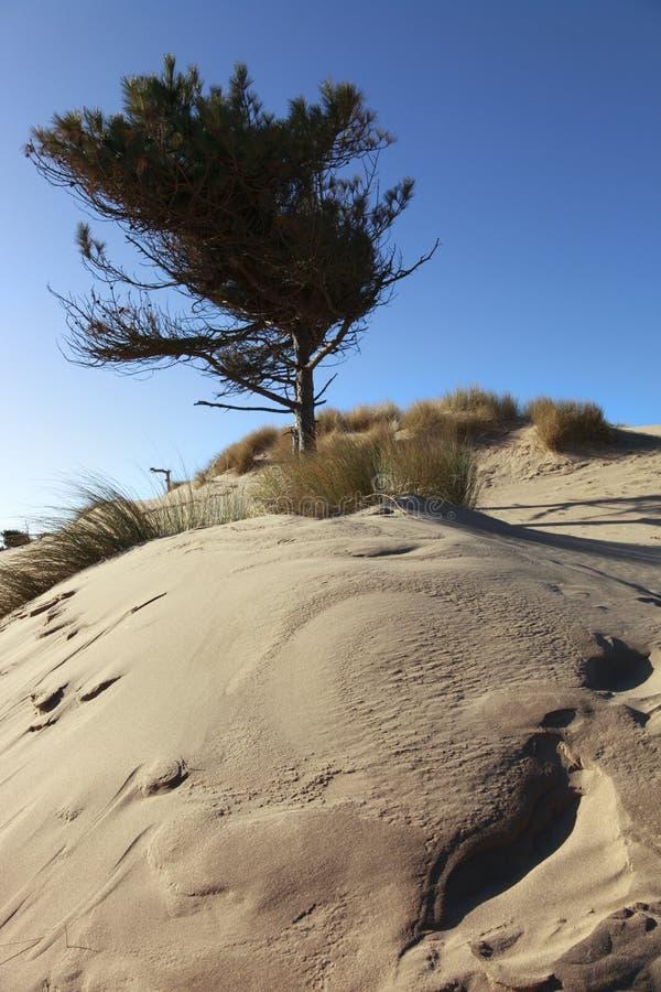 Árvores e dunas litorais de pinho foto de stock