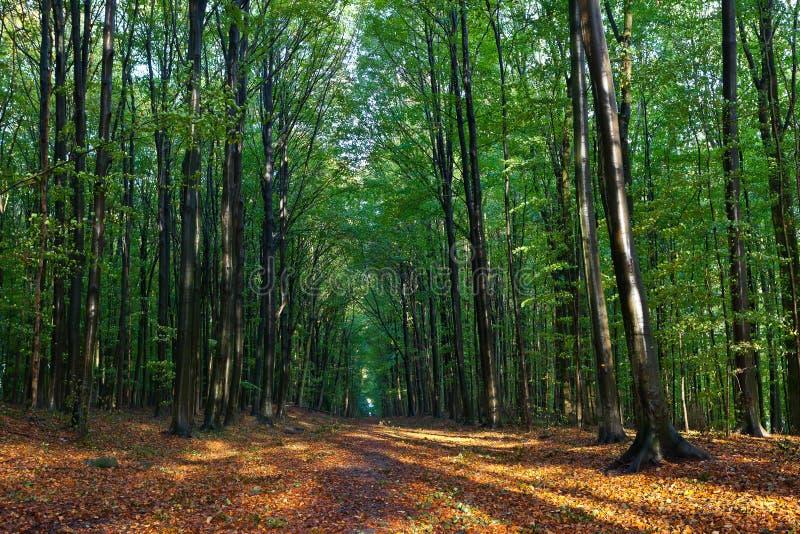 Árvores e folhas de faia nas madeiras no outono imagem de stock royalty free