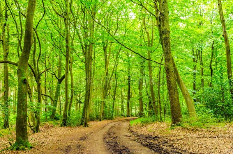 Árvores e madeira de faia com trilha fotos de stock royalty free