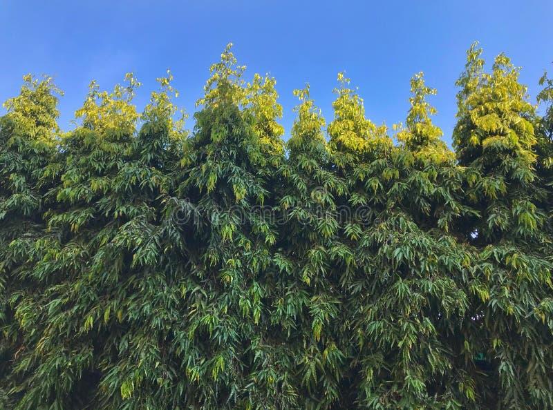 Árvores em linhas sobre fundo do céu fotografia de stock royalty free