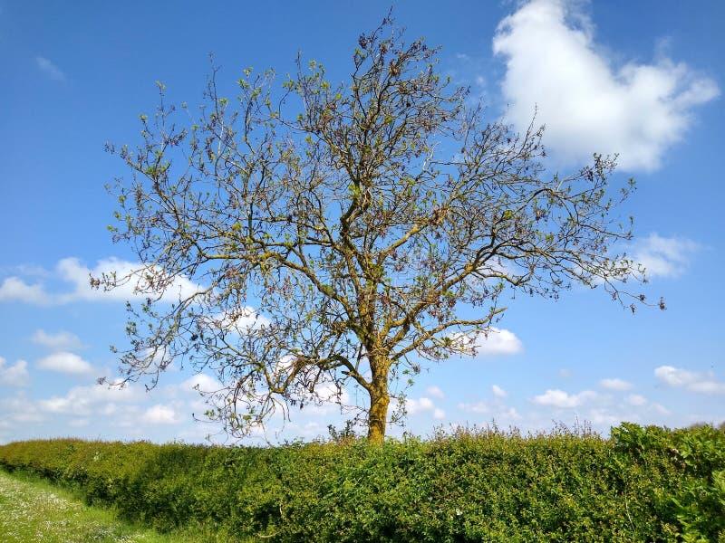 Árvores em um campo do canola fotografia de stock royalty free