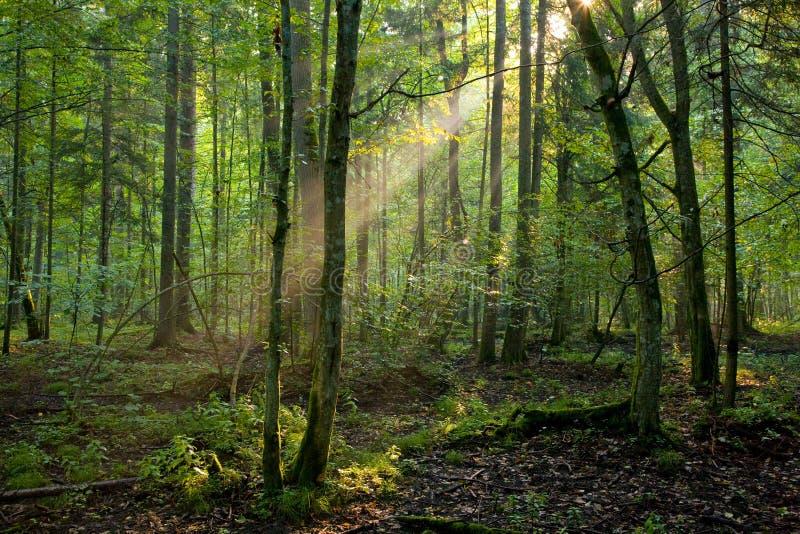 Árvores em uma luz macia do amanhecer imagens de stock