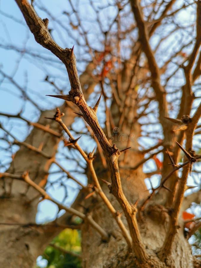 Árvores espinhosas e céus brilhantes foto de stock royalty free