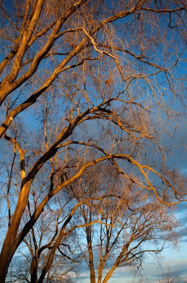 Árvores estéreis na luz dourada. imagem de stock royalty free