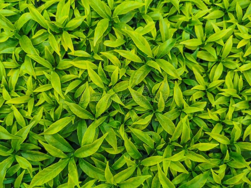 Árvores - Feche muitas folhas verdes, Verde da natureza, fundo verde da natureza, Topo da árvore foto de stock