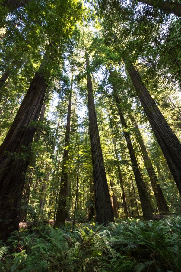 Árvores gigantes em um bosque da floresta de árvores da sequoia vermelha no parque nacional Califórnia da sequoia vermelha fotografia de stock
