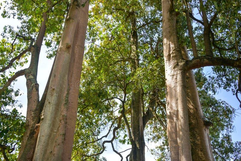 Árvores grandes e obscuros bonitas foto de stock royalty free