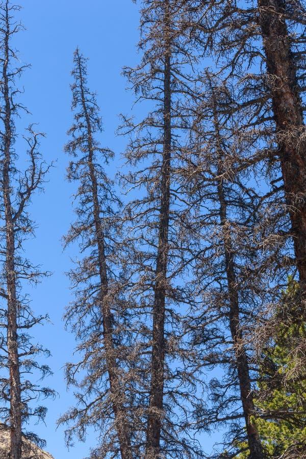 Árvores inoperantes das coníferas matadas pelo besouro de casca imagem de stock