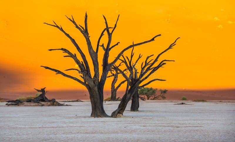 Árvores inoperantes de Camelthorn e dunas vermelhas em Deadvlei, Sossusvlei, Nam fotografia de stock