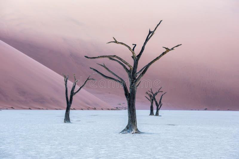 Árvores inoperantes de Camelthorn e dunas vermelhas em Deadvlei, Sossusvlei, Nam imagem de stock royalty free