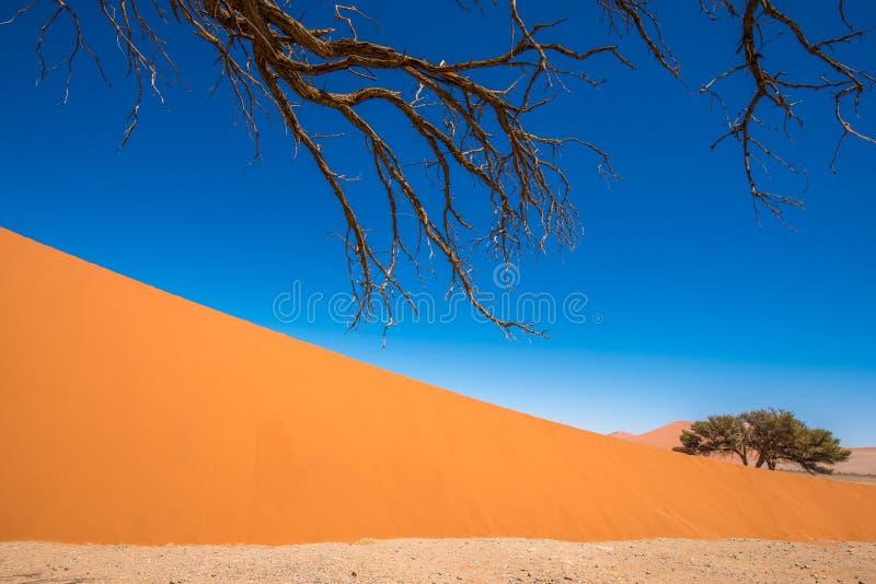 Árvores inoperantes de Camelthorn e dunas vermelhas em Sossusvlei, Namib-Naukluft fotos de stock