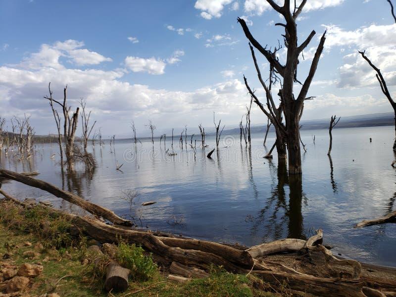 Árvores inoperantes em Kenya& x27; lago Nakura de s devido aos níveis de água de aumentação imagens de stock royalty free