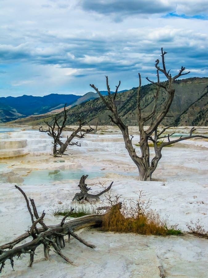 Árvores inoperantes em Mammoth Hot Springs imagem de stock