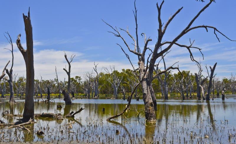 Árvores inoperantes na floresta dos gumtrees, Forbes, Novo Gales do Sul, Austrália foto de stock royalty free