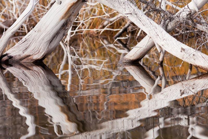 Árvores inoperantes resistidas espelhadas na superfície rippled foto de stock