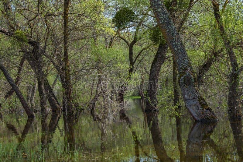 Árvores inundadas inundação da mola fotografia de stock