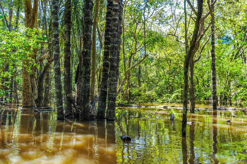 Árvores inundadas na floresta úmida das Amazonas, Brasil imagens de stock