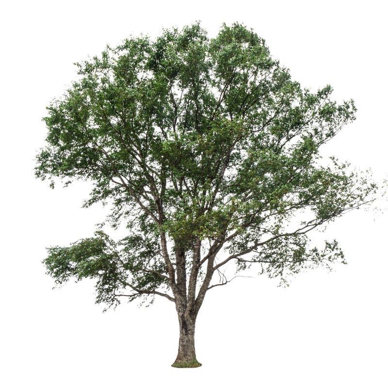 Árvores isoladas no fundo branco fotografia de stock
