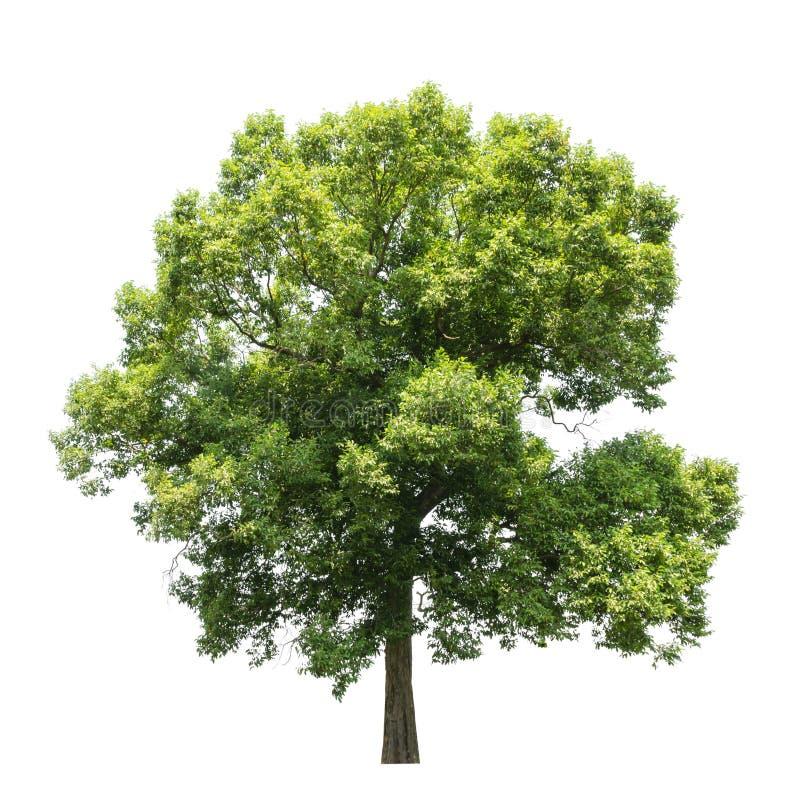 Árvores isolado no branco fotos de stock