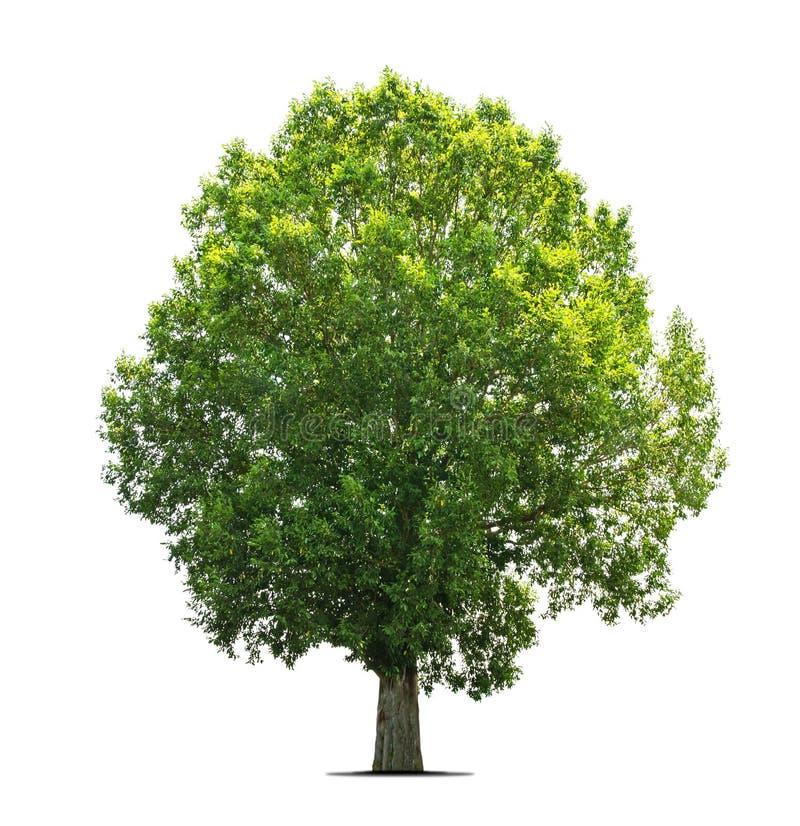 Árvores isolado no branco imagem de stock royalty free
