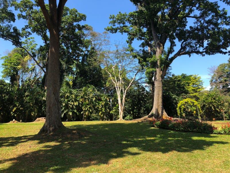 Árvores muito velhas no Royal Botanic King Gardens, Kandy, Sri Lanka fotografia de stock royalty free