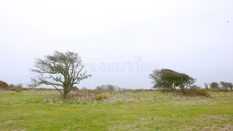 Árvores muito windblown fotos de stock royalty free