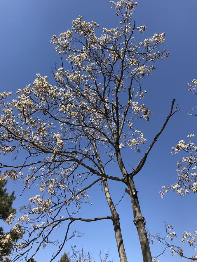 Árvores murchos na mola fotos de stock royalty free