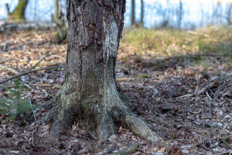 ?rvores mutiladas por castores Pinho descascado da casca por castores imagens de stock