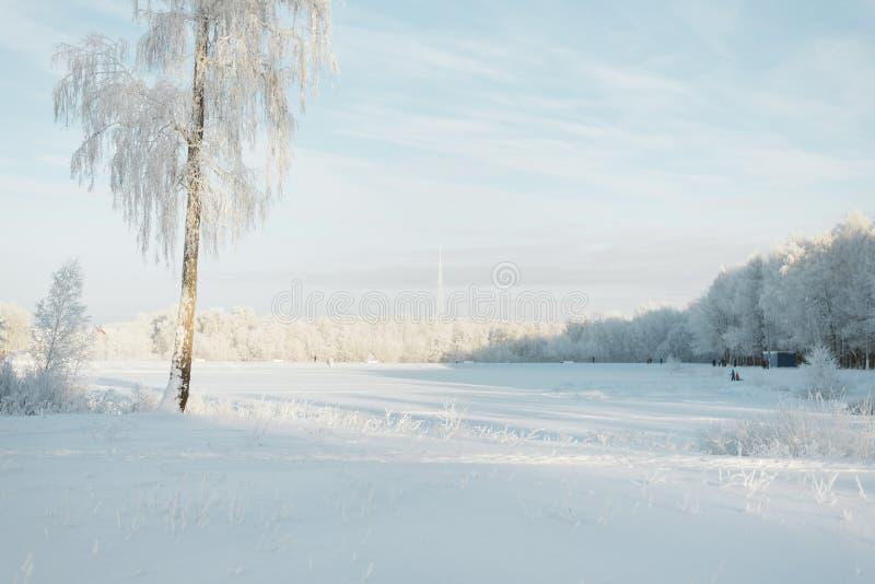 Árvores na geada em um campo nos abeto e nos pinhos da floresta cobertos com a neve foto de stock royalty free