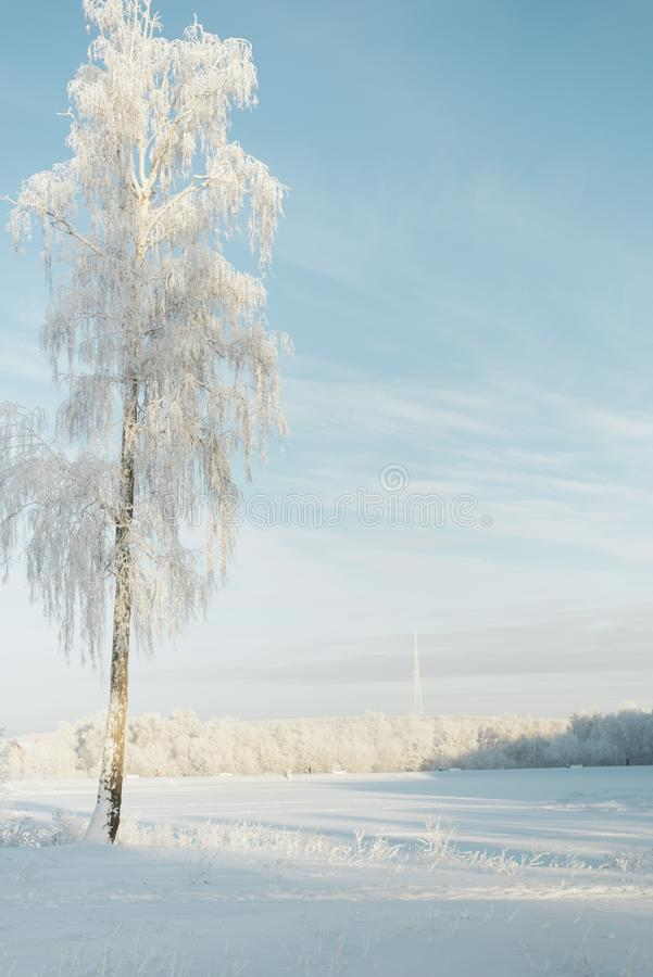Árvores na geada em um campo nos abeto e nos pinhos da floresta cobertos com a neve fotografia de stock