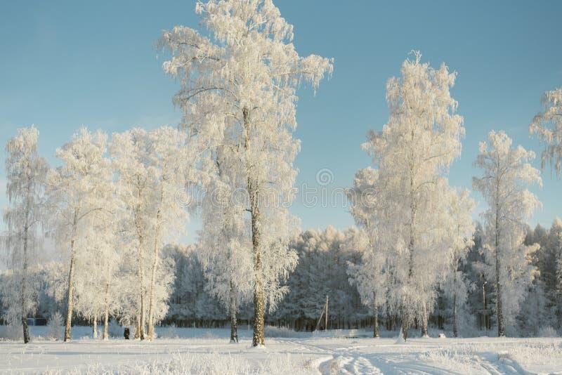Árvores na geada em um campo nos abeto e nos pinhos da floresta cobertos com a neve fotos de stock