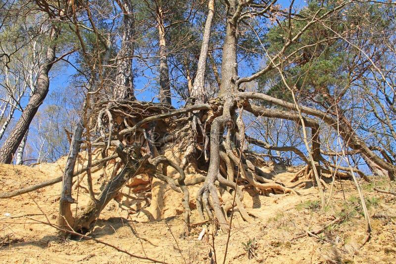 Árvores na inclinação seca fotografia de stock