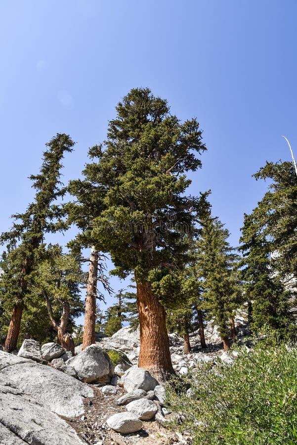 Árvores na linha costeira de lago solitário pine, serras orientais, Califórnia imagens de stock