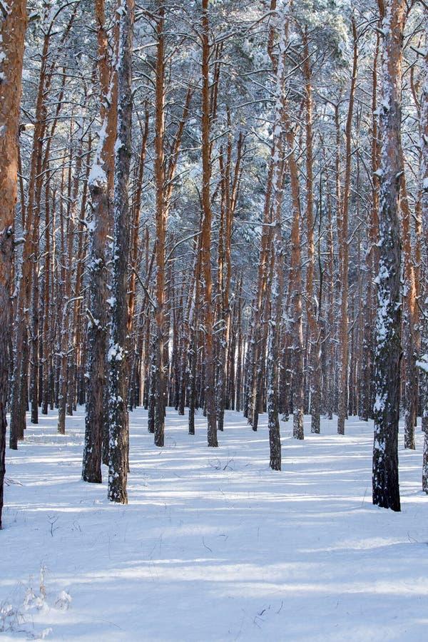 Árvores na madeira coberto de neve do inverno fotos de stock royalty free