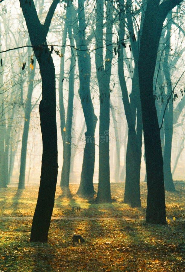 Árvores na manhã do outono no parque nevoento imagens de stock royalty free