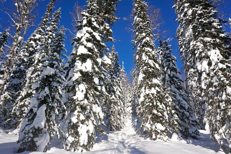 Árvores na neve, floresta da neve em dezembro fotografia de stock