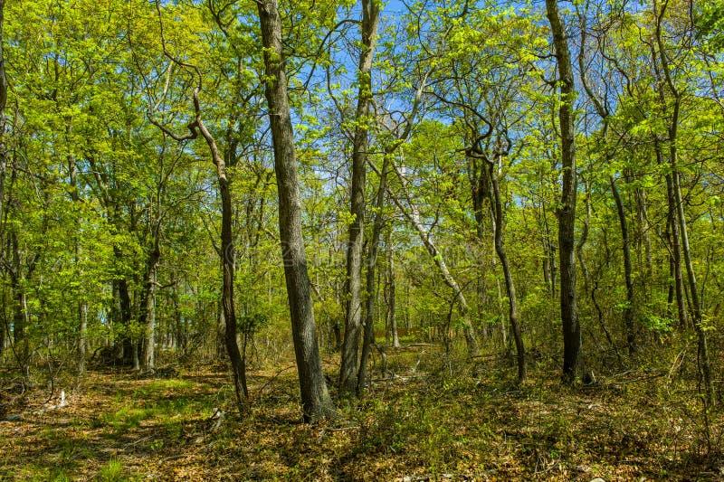 Árvores nas madeiras, Hampton do leste, New York imagem de stock