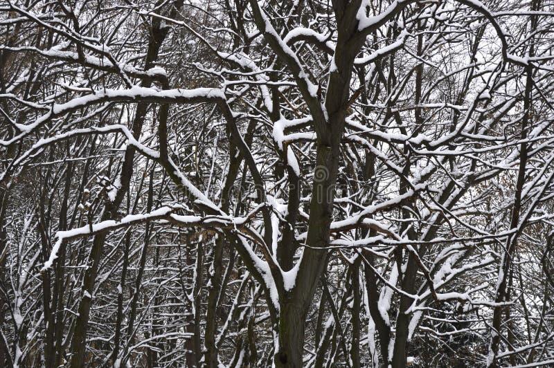 Árvores nevado na floresta do inverno fotos de stock royalty free