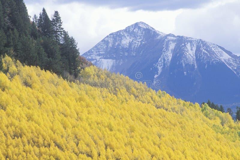 Árvores no outono, Aspen, Colorado imagens de stock