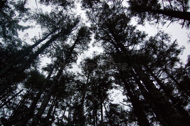 Árvores noroestes pacíficas de Douglas Fir imagens de stock royalty free