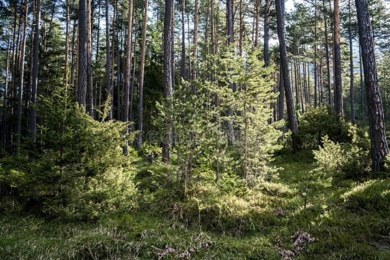 Árvores novas frescas que crescem em uma floresta do pinho fotografia de stock