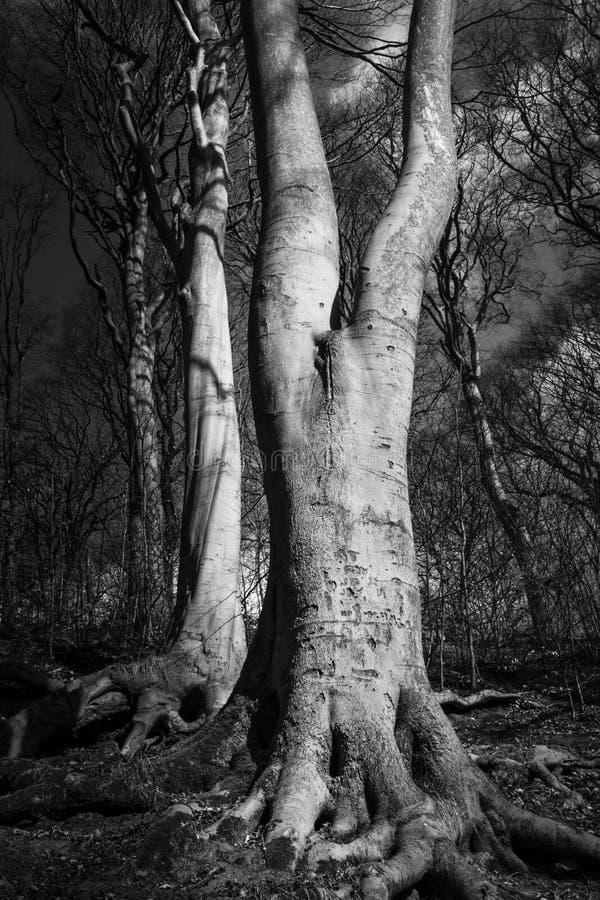 Árvores originais em Northumberland Reino Unido fotos de stock royalty free